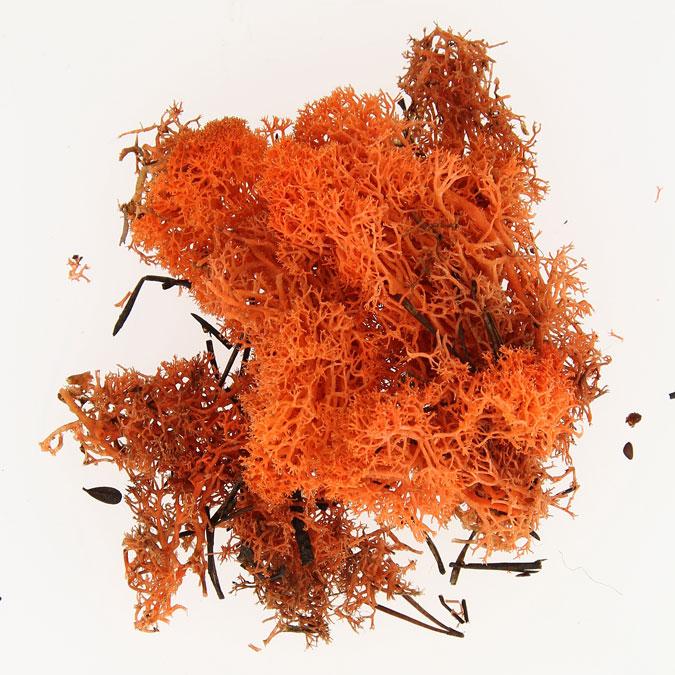 Mousse naturelle Lichen Orange 50 g